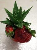 Aloe κάκτος και φράουλα στοκ εικόνες