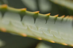 Aloe μακροεντολή κάκτων - Aloe κινηματογράφηση σε πρώτο πλάνο/λεπτομέρειες εγκαταστάσεων Στοκ εικόνες με δικαίωμα ελεύθερης χρήσης