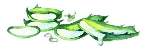 Aloe οριζόντια σύνθεση της Βέρα Χέρι Watercolor που σύρεται illustrationÑŽ Ελεύθερη απεικόνιση δικαιώματος