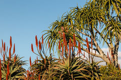 Aloe λουλούδια δέντρων Στοκ Φωτογραφίες