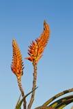 Aloe λουλούδια σε ένα υπόβαθρο μπλε ουρανού Στοκ Εικόνες