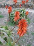 Aloe λουλούδια Στοκ φωτογραφία με δικαίωμα ελεύθερης χρήσης