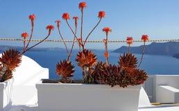 Aloe λουλούδια Στοκ Εικόνες