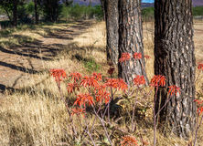 Aloe λουλούδια Maculata δίπλα στο βρώμικο δρόμο κάτω από τα δέντρα Στοκ φωτογραφία με δικαίωμα ελεύθερης χρήσης