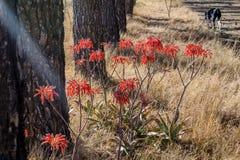 Aloe λουλούδια Maculata στις ακτίνες του φωτός του ήλιου δίπλα στα δέντρα Στοκ Εικόνα