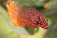 Aloe λουλούδια Marlothii Στοκ εικόνα με δικαίωμα ελεύθερης χρήσης