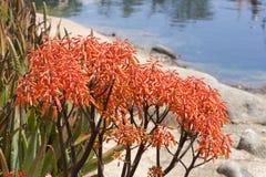 Aloe λουλούδια striata Στοκ φωτογραφίες με δικαίωμα ελεύθερης χρήσης