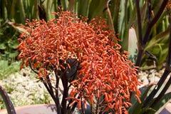 Aloe λουλούδια striata Στοκ Εικόνες