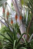 Aloe λουλούδι της Βέρα Στοκ Φωτογραφία