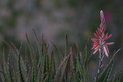 Aloe στο πορτοκαλί λουλούδι άνθισης κήπων με τα φύλλα cactii Στοκ Εικόνες