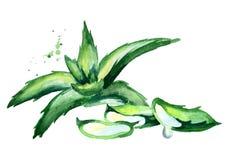 Aloe σύνθεση της Βέρα Συρμένη χέρι απεικόνιση Watercolor Ελεύθερη απεικόνιση δικαιώματος