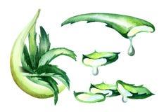 Aloe σύνολο αποσπασμάτων της Βέρα Συρμένη χέρι απεικόνιση Watercolor Απεικόνιση αποθεμάτων