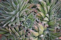 Aloe φραγκοκοτών aristata Aristaloe, aloe δαντελλών Στοκ εικόνες με δικαίωμα ελεύθερης χρήσης