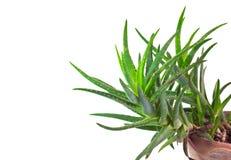 aloe φυτό Βέρα Στοκ εικόνες με δικαίωμα ελεύθερης χρήσης