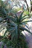 aloe φυτό Βέρα Στοκ φωτογραφίες με δικαίωμα ελεύθερης χρήσης