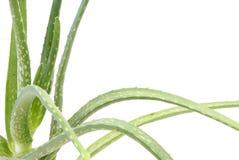 aloe φύλλα Βέρα Στοκ Εικόνα