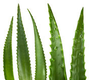 aloe φύλλα Στοκ Φωτογραφίες