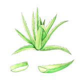 Aloe χρωματισμένη χέρι απεικόνιση watercolor της Βέρα Ελεύθερη απεικόνιση δικαιώματος