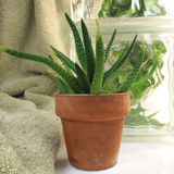 Aloe Stock Images