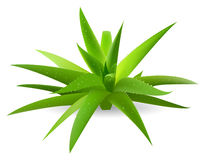 Aloe Fotografia Stock