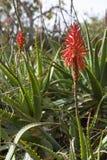 Aloe Royalty Free Stock Photo