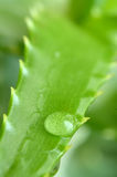 Aloe Royalty Free Stock Photography