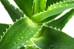 Aloe Stock Photos