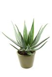 Aloe Immagine Stock Libera da Diritti