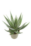 Aloe Royalty Free Stock Images