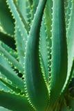 Aloe Fotografia Stock Libera da Diritti
