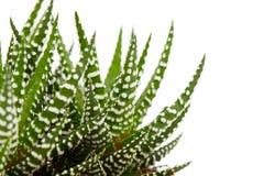 Aloe Immagine Stock