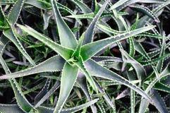 Aloe Royaltyfri Foto