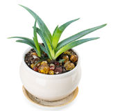 Aloe Royaltyfria Bilder