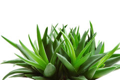 Aloe Stock Photography