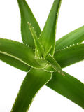 Aloe Royalty Free Stock Image