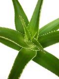 Aloe Royalty Free Stock Image