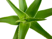 Aloe Royalty Free Stock Photo