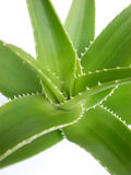 Aloe Royalty Free Stock Photography