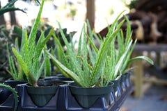 Σε δοχείο Aloe εγκαταστάσεις της Βέρα για το ηλιακό έγκαυμα Στοκ Εικόνες