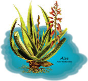 aloe Foto de Stock Royalty Free
