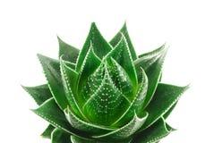 Aloe Lizenzfreies Stockfoto