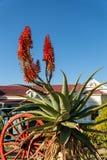 Aloe accanto al vagone Immagini Stock