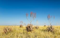 Aloe africano Vera Fotografia Stock Libera da Diritti
