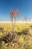 Aloe africano Vera Immagini Stock
