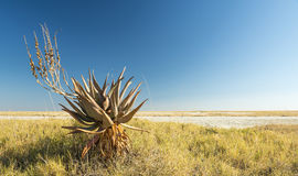 Aloe africano Vera Immagine Stock Libera da Diritti