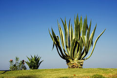 Aloe against the sky. The big growing aloes against the dark blue sky Stock Photography