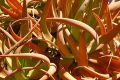 Aloe aggrovigliato Fotografie Stock Libere da Diritti