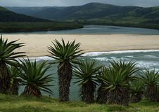Aloe alto che cresce sulla laguna di trascuratezza Transkei la provincia del Capo Orientale della collina Fotografia Stock