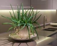 Aloe-Anlage in der Küche Stockfoto