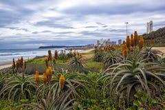 Aloe arancio che cresce sulle dune riabilitate a Durban fronte mare Fotografie Stock Libere da Diritti